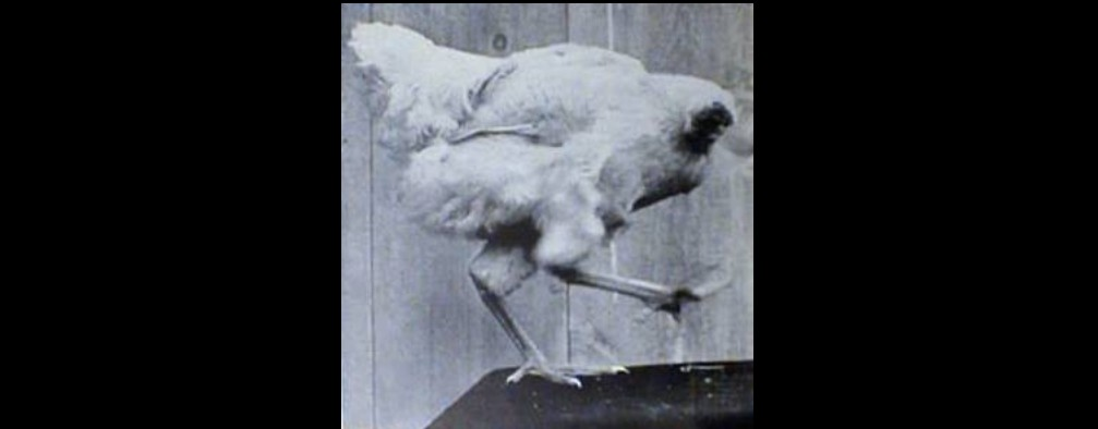 """The Saker: """"The Headless Chicken and the Bear"""""""