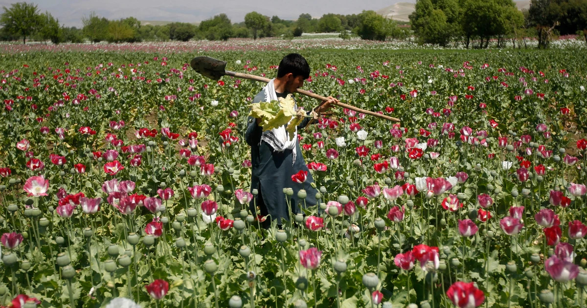 Taliban Move To Ban Opium Production, But Could It Majorly Backfire?